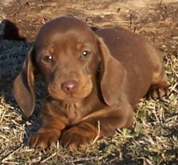 chocolate and tan miniature dachshund