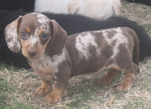Sandcreek Pets Veterinarian Family Raised AKC Puppies for