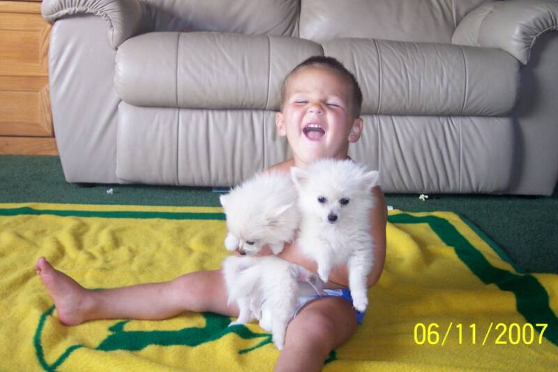 Pomeranian Puppies For Sale: Pomeranian Puppies For Sale