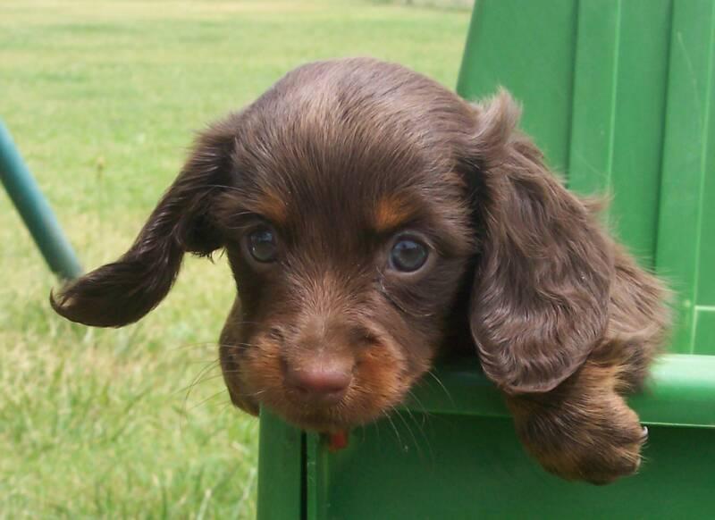 Sandcreek Pets Dachshund Puppies Photo Gallery