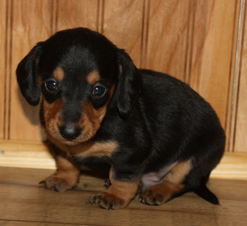 Teacup Weiner Dog Pictures to Pin on Pinterest - PinsDaddy